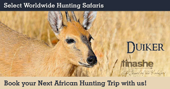 Hunting Duiker in Southern Africa