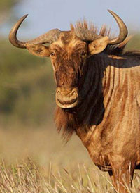 Golden Wildebeest Hunting in South Africa