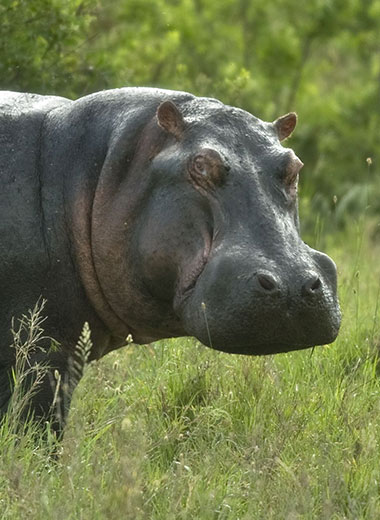 Hippopotamus Hunting in South Africa