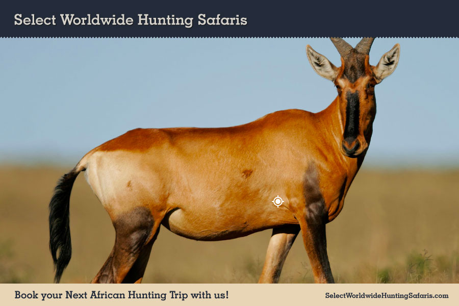 Hunting Red Hartebeest in Southern Africa