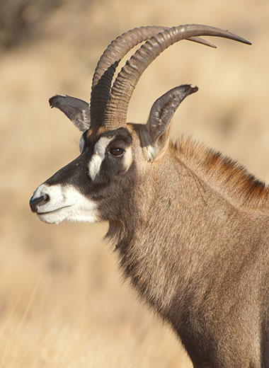 Roan Antelope Hunting in South Africa