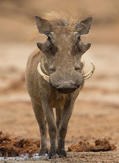 Warthog Hunting in South Africa