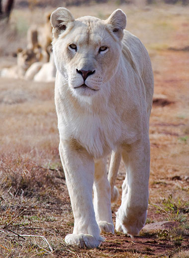 White Lioness Hunting in South Africa