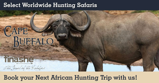 Hunting Cape Buffalo in Southern Africa