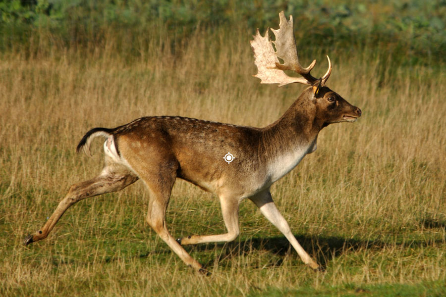 Fallow Deer Shot Placement