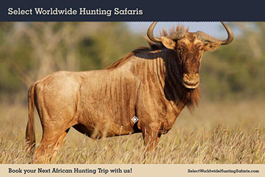 Hunting Golden Wildebeest in Southern Africa