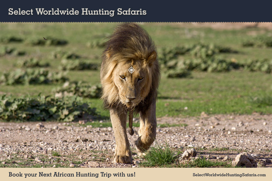 Hunting Lion in Southern Africa