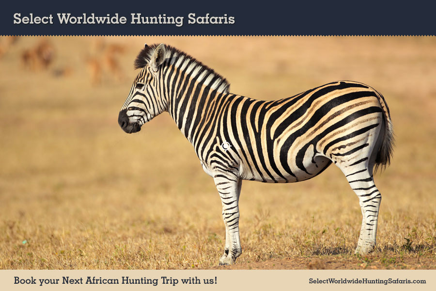 Hunting Burchell's Zebra Shot Placement