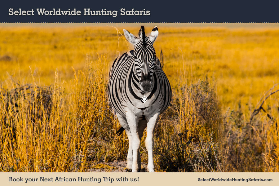 Hunting Zebra in Southern Africa